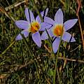 Romulea tabularis, Mary Sue Ittner