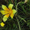 Romulea tortuosa, Middelpos, Mary Sue Ittner [Shift+click to enlarge, Click to go to wiki entry]