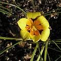 Romulea tortuosa spp. tortuosa, Mary Sue Ittner