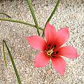 Romulea unifolia, Bob Rutemoeller