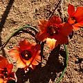 Romulea unifolia, Cameron McMaster