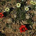Romulea unifolia, Mary Sue Ittner