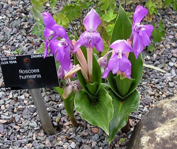 Pacific Bulb Society Roscoea