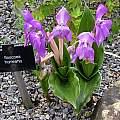 Roscoea humeana flowering at Kew Gardens, Bob Rutemoeller