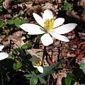 Sanguinaria canadensis, Tennessee, Nhu Nguyen