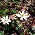 Sanguinaria canadensis, Minnesota, Nhu Nguyen
