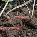 Sanguinaria canadensis roots, Nhu Nguyen