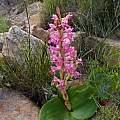 Satyrium erectum, near Springbok, Cameron McMaster