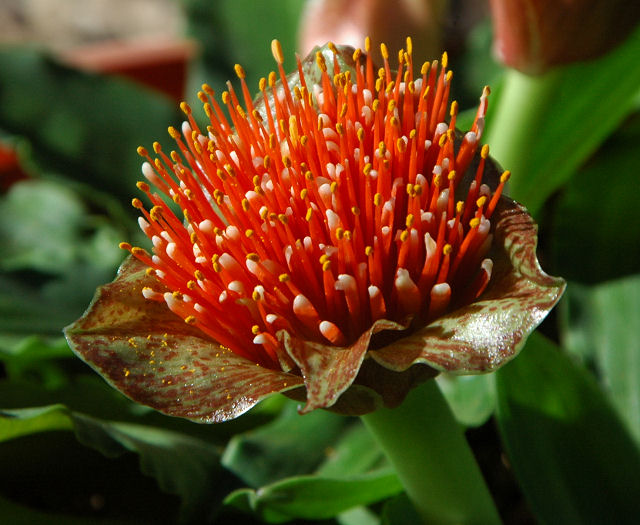 Pacific Bulb Society Scadoxus
