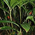 Scadoxus cyrtanthiflorus, Rachel Saunders