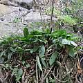 Scadoxus membranaceus, Kei River mouth, Cameron McMaster