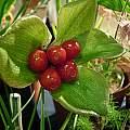 Scadoxus membranaceus fruit, Cameron McMaster