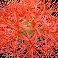 Scadoxus multiflorus ssp. katharinae, Sheila Burrow