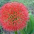 Scadoxus multiflorus ssp. multiflorus, Nicholas Wightman