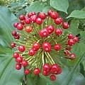 Scadoxus multiflorus ssp. multiflorus seeds, Nicholas Wightman