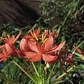 Scadoxus pole-evansii, Nhu Nguyen