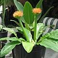 Scadoxus pseudocaulus, Alan O'Leary