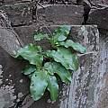 Scadoxus puniceus,Glen Avon, Bob Rutemoeller