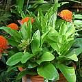 Scadoxus puniceus, Mary Sue Ittner