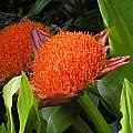 Scadoxus puniceus , Mary Sue Ittner