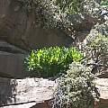 Scadoxus puniceus, Cathcart, Cameron McMaster