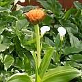 Scadoxus puniceus 'Natalensis', Doug Westfall