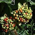 Scadoxus puniceus fruit, Mary Sue Ittner