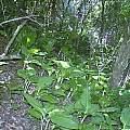 Scadoxus puniceus, Cameron McMaster