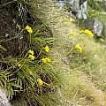 Schizochilus zeyheri, Mt. Thomas, Cameron McMaster
