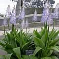 Scilla madeirensis, Kew Gardens, Terry Laskiewicz