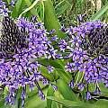 Scilla peruviana purple violet, Angelo Porcelli