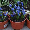 Scilla siberica species, Spring Beauty and alba, David Pilling