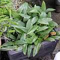 Scoliopus bigelovii leaves, Bob Rutemoeller