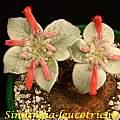 Sinningia leucotricha, Bill Dijk