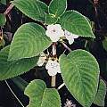 Sinningia schiffneri, in situ Brazil, Tsuh Yang Chen [Shift+click to enlarge, Click to go to wiki entry]