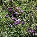 Sisyrinchium bellum, Navarro Point, Mary Sue Ittner