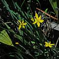 Sisyrinchium californicum, Salt Point State Park, Mary Sue Ittner
