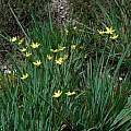 Sisyrinchium californicum, Mary Sue Ittner