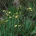 Sisyrinchium californicum, Mary Sue Ittner