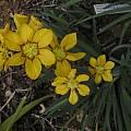 Sisyrinchium macrocarpum, Bob Rutemoeller