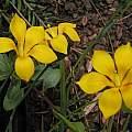 Solenomelus pedunculatus, Bob Rutemoeller