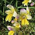 Sparaxis caryophyllacea, Alan Horstmann