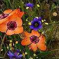 Sparaxis elegans, Nieuwoudtville, Mary Sue Ittner [Shift+click to enlarge, Click to go to wiki entry]