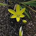 Sparaxis grandiflora ssp. acutiloba, Mary Sue Ittner