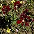 Sparaxis grandiflora ssp. grandiflora, Mary Sue Ittner