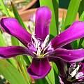Sparaxis grandiflora ssp. violacea, Alan Horstmann