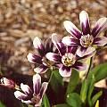 Sparaxis grandiflora ssp. violacea, Mary Sue Ittner