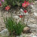 Sparaxis pillansii, UC Botanical Garden