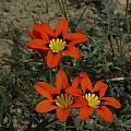 Sparaxis tricolor, Nieuwoudtville, Bob Rutemoeller