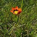 Sparaxis tricolor, Biekoes, Cameron McMaster
